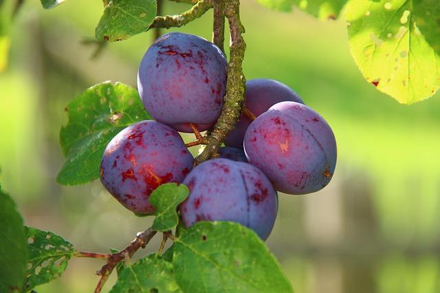 šljiva voće