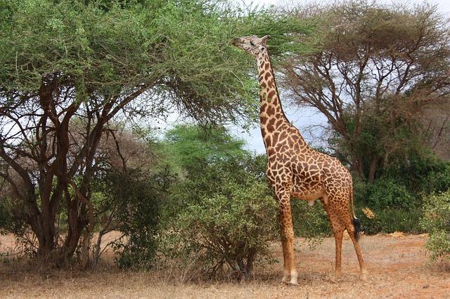 Divlje životinje - žirafa