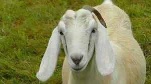 goat-217501_640
