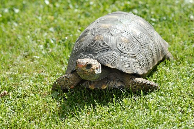gmazovi - kornjaca