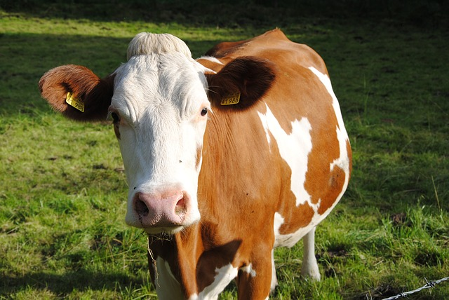 Domaće životinje - krava