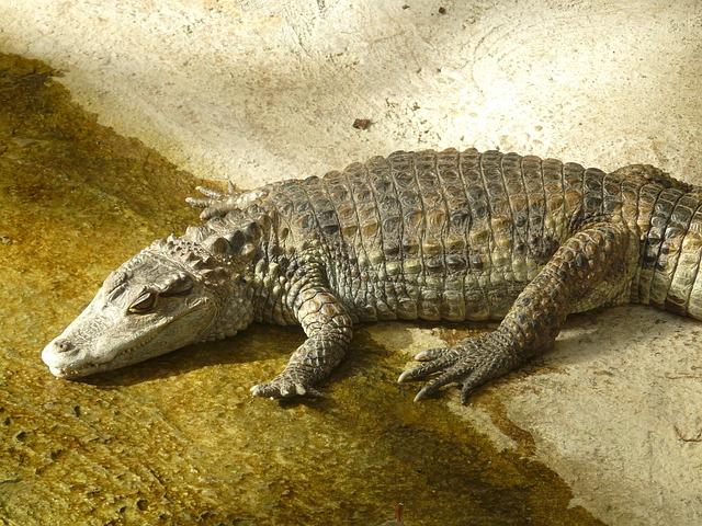 gmazovi - krokodil