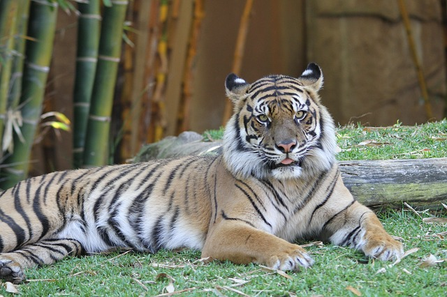 Divlje životinje - tigar