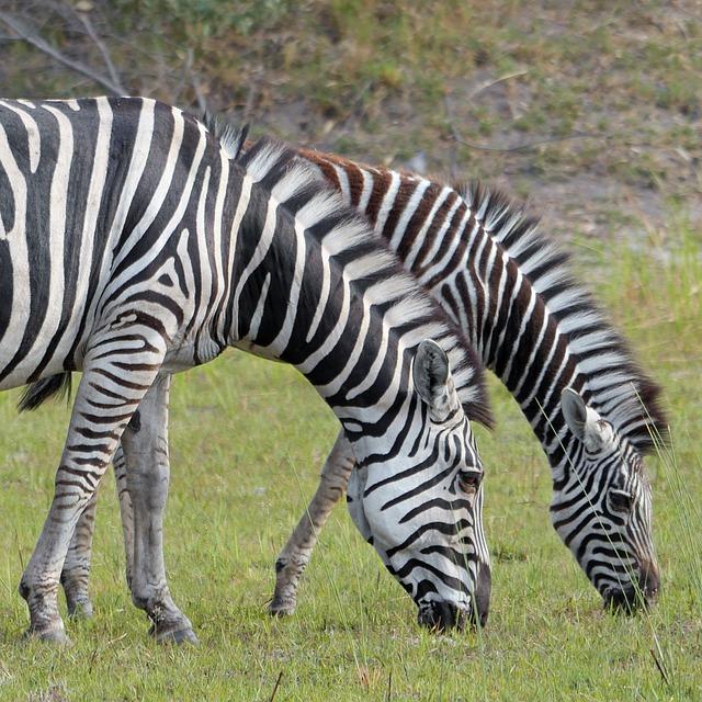 Divlje životinje - zebra