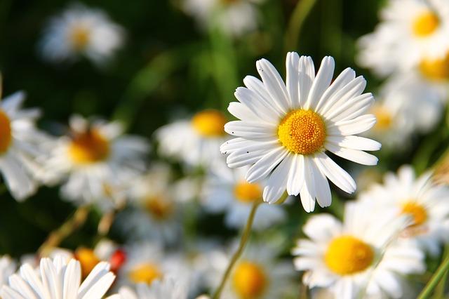 Cvijeće male Ide
